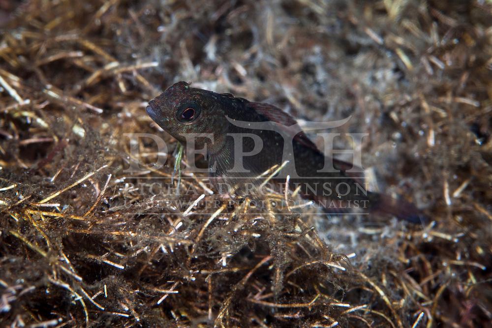 Forsterygion lapillum (Common triplefin). Thursday 03 April 2014<br /> Photograph Richard Robinson © 2014<br /> Dive Number: 512<br /> Site: Nine Fathoms Passage, Dusky Sound, Fiordland.<br /> Boat: Tutoko<br /> Dive Ian Skipworth<br /> Temperature:  14.7<br /> Rebreather: Inspiration Vision. Total Time On Unit: 311:46 hh:mm<br /> Time: 14:49<br /> Maximum Depth: 41.3 meters<br /> Bottom Time: 120 minutes<br /> Mix: 21<br /> CNS: 53%<br /> OTU: 49%<br /> Bottom Time to Date: 34,434 minutes<br /> Cumulative Time: 34,554 minutes