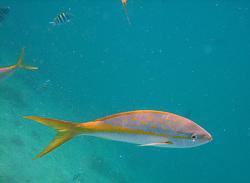 A goatfish swims in water off the coast of Aruba.