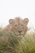Nature photograph of a single young male lion (Panthera leo) hidden among the grass and looking at the camera during rain, Tarangire National Park, Tanzania