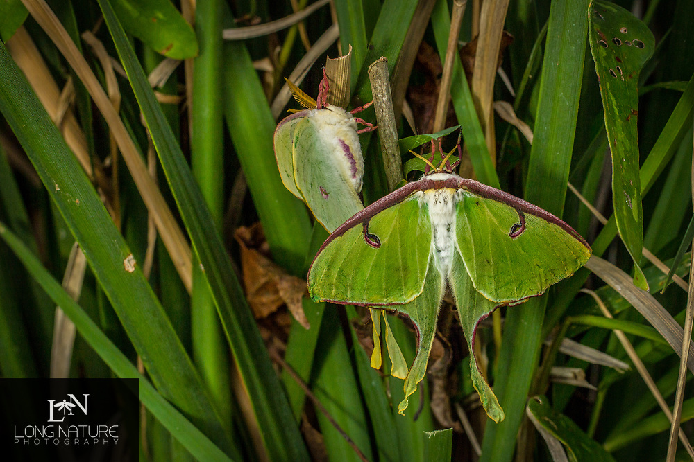 Mating male and female Luna moth -  (Actias luna).  Newly emerged, she emmitted pheromones  the previous night, and attracted a mate.
