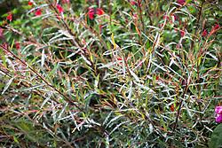 Salix purpurea 'Nancy Saunders' AGM (Willow) with Salvia 'Jezebel'