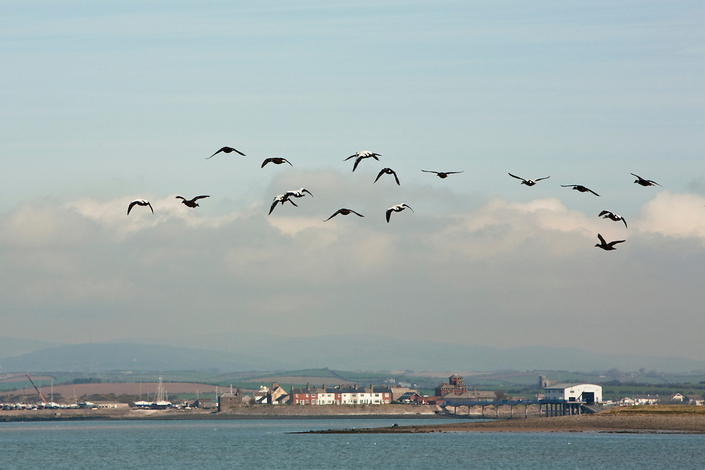 Flock of Eider in flight, Walney Island, Barrow in Furness, Cumbria, Uk