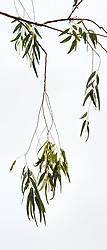 Eucalyptus camaldulensis #7