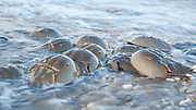 The ancient ritual of spring Horseshoe crab spawning on the Delaware Bay providing essential eggs for the migrating shorebirds. Slow shutter speed creates soft water patterns<br /> Delaware Bayshore, Pickering Beach