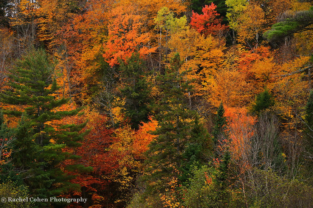 """""""Autumn Melange""""<br /> <br /> A wonderful melange of autumn color mixed in with various evergreen trees!!<br /> <br /> Fall Foliage by Rachel Cohen"""