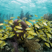 Coral reef scene with a school of french grunts (Haemulon flavolineatum) in The Bahamas