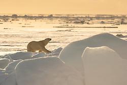 Polar bear (Ursus maritimus) on sea ice, in Hinlopen, Spitsbergen, Svalbard, Norway
