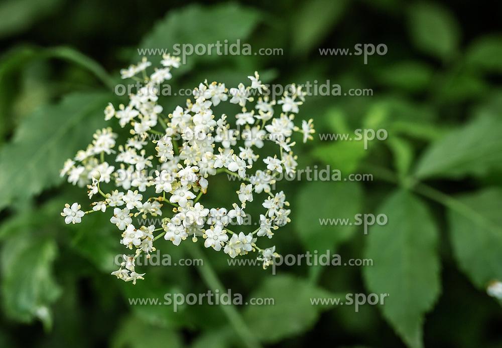 THEMENBILD - der Holunder (Sambucus) wird auch als Fliederbeerbusch, Holler oder Holder bezeichnet wird. Die schirmtraubigen Blütenstände blühen je nach Witterung im Juni und wachsen auf Sträucher und kleine Bäume. Die Verarbeitung der Blüten ist als Tee, Salbe, Likör, Sirup oder im Backteig als Süßspeise geeignet, aufgenommen am 19. Juni 2019, Kaprun, Österreich // the elderberry (Sambucus) is also called lilac bush, elder or elder. The umbrella-robbed inflorescences bloom depending upon weather conditions in June and grow on shrubs and small trees. The processing of the blossoms is suitable as tea, ointment, liqueur, syrup or in the batter as dessert on 2019/06/19, Kaprun, Austria. EXPA Pictures © 2019, PhotoCredit: EXPA/ Stefanie Oberhauser