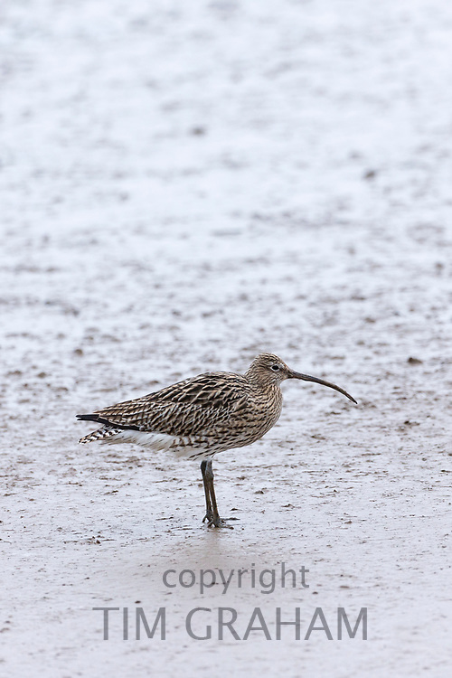 Curlew, Numenius arquata largest European wading wild bird with long curved bill beak on shoreline, in Norfolk, UK