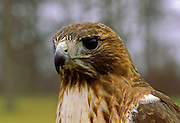 Red-tailed Hawk face.