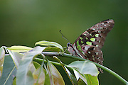 Tailed jay (Graphium agamemnon) butterfly on a leaf. Photographed in Cambodia