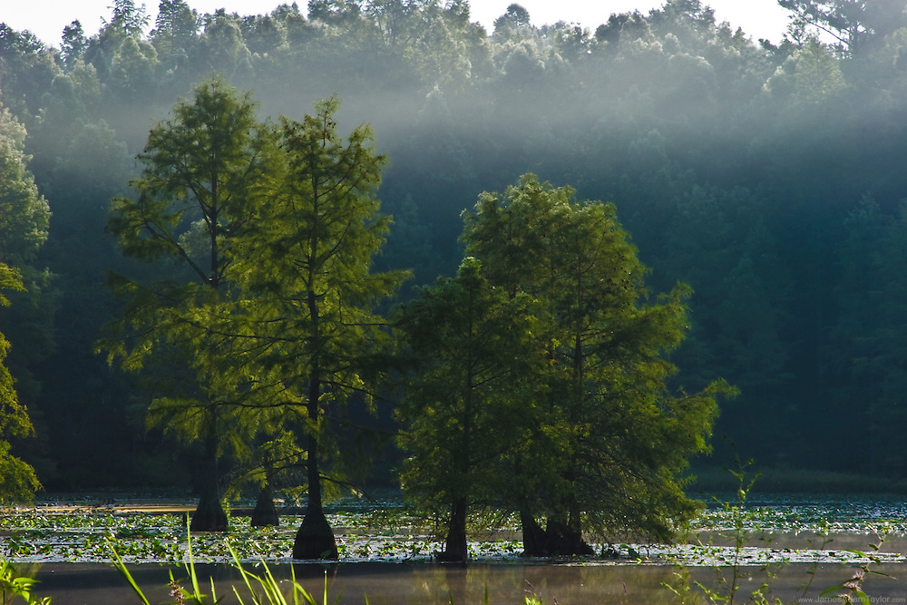 Bald Cypress trees in the northern extent of their range,Trap pond state park, Delaware