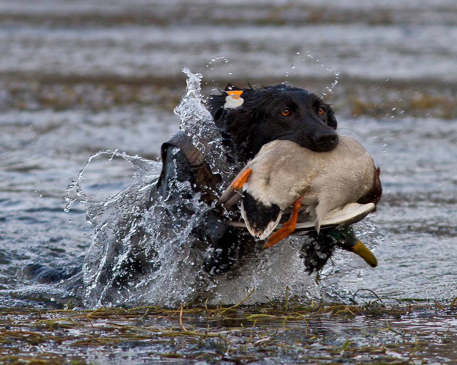 Young female black labrador retrieves a greenhead malad duck on the Snake River near Glens Ferry, Idaho