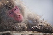 A snow monkey (Macaca fuscata) resting his head on his hands on the edge of a steamy hotspring , Jigokudani, Yamanouchi, Japan