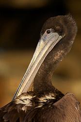 Brown Pelican, Port San Luis, Avila Beach, California