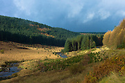 Conifers and larch trees in coniferous forest plantation for timber production along valley in the Brecon Beacons mountain range, Wales, UK