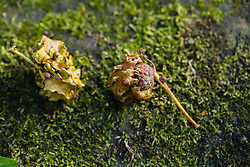 Knoppergal, Andricus quercuscallisis