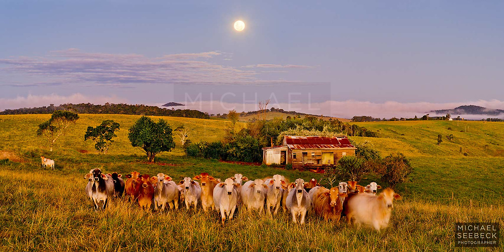 A panoramic photograph captured at twilight on the Atherton Tablelands of Far North Queensland, showing a derelict cottage and a herd of curious cattle in the foreground.<br /> <br /> Limited Edition Print
