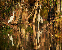 Great Blue Heron and Snowy Egret in Big Cypress Swamp. Image taken with a Nikon Df camera and 400 mm f2.8 lens (ISO 450, 400 mm, f/4, 1/1600 sec).