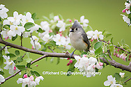 01298-03517 Tufted Titmouse (Baeolophus bicolor) in Crabapple tree (Malus sp.) in spring. Marion Co. IL