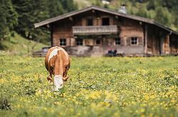 THEMENBILD - ein Border Collie (Arbeits- und Hütehunden aus Großbritannien) spielt mit einem Holzstück im Maul auf einer Wiese, aufgenommen am 23. Juni 2019, am Hintersee in Mittersill, Österreich // a Border Collie (working and herding dogs from Great Britain) plays with a piece of wood in his mouth on a meadow on 2019/06/23, Hintersee in Mittersill, Austria. EXPA Pictures © 2019, PhotoCredit: EXPA/ Stefanie Oberhauser