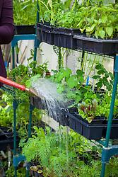 Watering racks of plants in a greenhouse