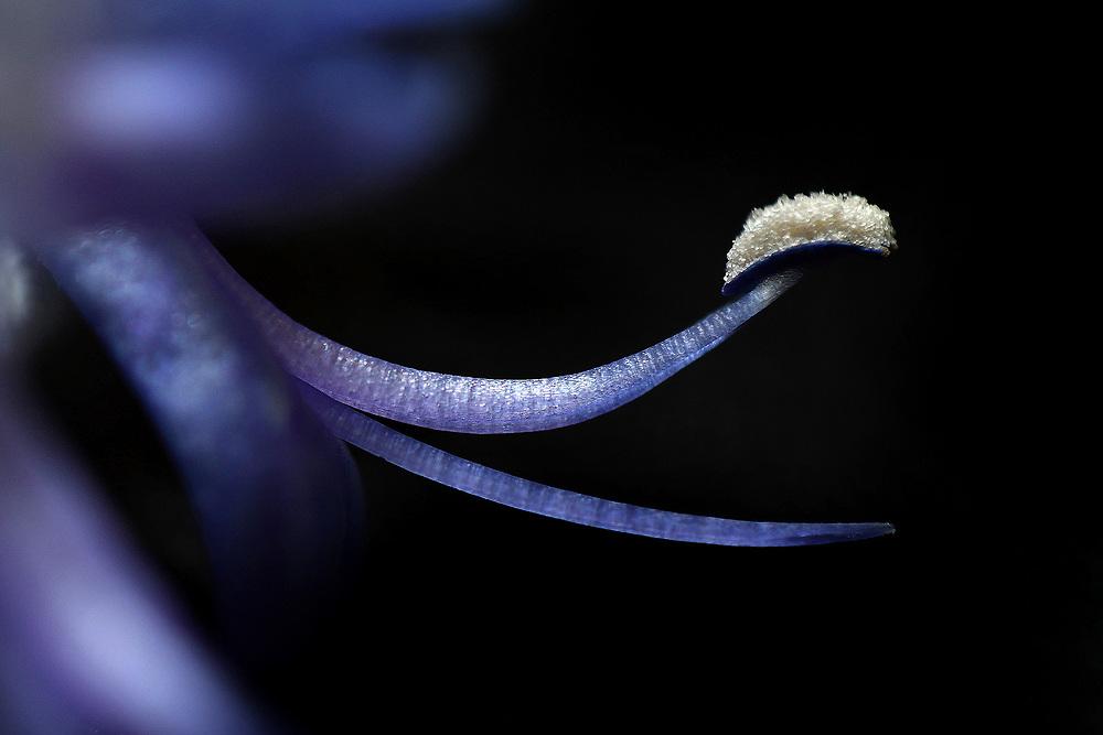 Fiore di rosmarino / Rosemary flower<br /> Photo Antonietta Baldassarre