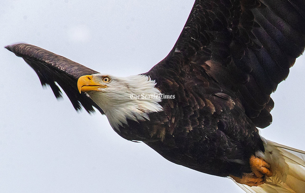 A bald eagle flies over Howard Miller Steelhead Park in Rockport, Skagit County. An adult bald eagle has a wing span from 5.9 to 7.5 feet. (Mike Siegel / The Seattle Times)