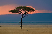 Soft morning light in the African savannah with acacia tree.