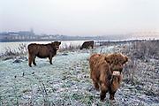 Nederland, Nijmegen, 3-2-2019 Wilde runderen grazen op het Lentereiland, Veur Lent, in de ochtendmist na een koude nacht. Het eiland is ontstaan door de aanleg van de nevengeul tegenover de stad. Natuurbegrazing door het uitzetten van Schotse Hooglanders. De grazers lopen op de oever en houden de begroeing laag en divers. Ze zijn uitgezet door de stichting Taurus die zich ook bezighoudt met het terugfokken van het Europese oerrund, de oerkoe. Foto: Flip Franssen
