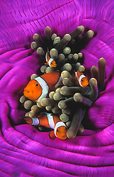 A family of Western Clown Anemonefish, Amphiprion ocellaris, snuggle among the venomous tentacles of their host, a Magnifiecnt Sea Anemone, Heteractis magnifica. The anemonefish develop an immunity to the tentacles, whose sting would prove fatal for many other fish.  North Sulawesi, Indonesia, Pacific Ocean