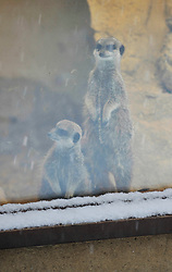 © Licensed to London News Pictures. 18 January 2013. Burford Oxfordshire. Snow hits Oxfordshire today. Meerkats watch the snow through a window enjoying the warmth of their pen at the Cotswold Wild Life Park near Burford. Photo credit : MarkHemsworth/LNP