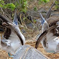 South America, Ecuador, Galapagos, Espanola. A pair of Blue-footed Boobies in courtship display.