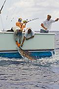 Billing a small blue marlin to retrieve the hook.