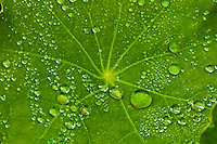 Nasturtium   (Tropaeolum majus) leaves with water droplets trailing plant with round leaves and bright orange, yellow, or red edible flowers that is widely grown as an ornamental.