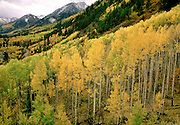 Aspen trees in fall color fill the hillside looking toward the Ruby Mountain Range, near McClure Pass, near Marble, Colorado