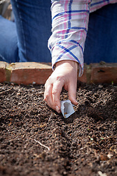Sowing carrots in drills in the vegetable garden