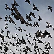 Mongolia. pigeons flying over stppas in  Gandan Buddhist monastery,  the bigest  Monastery  in Ulaan baatar