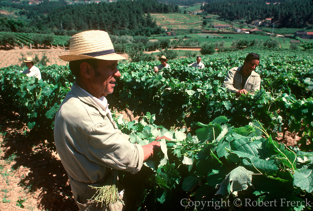 PORTUGAL, NORTH, AGRICULTURE Upper Douro River Valley, the famous Mateus Vineyards near Vila Real; workers harvesting grapes