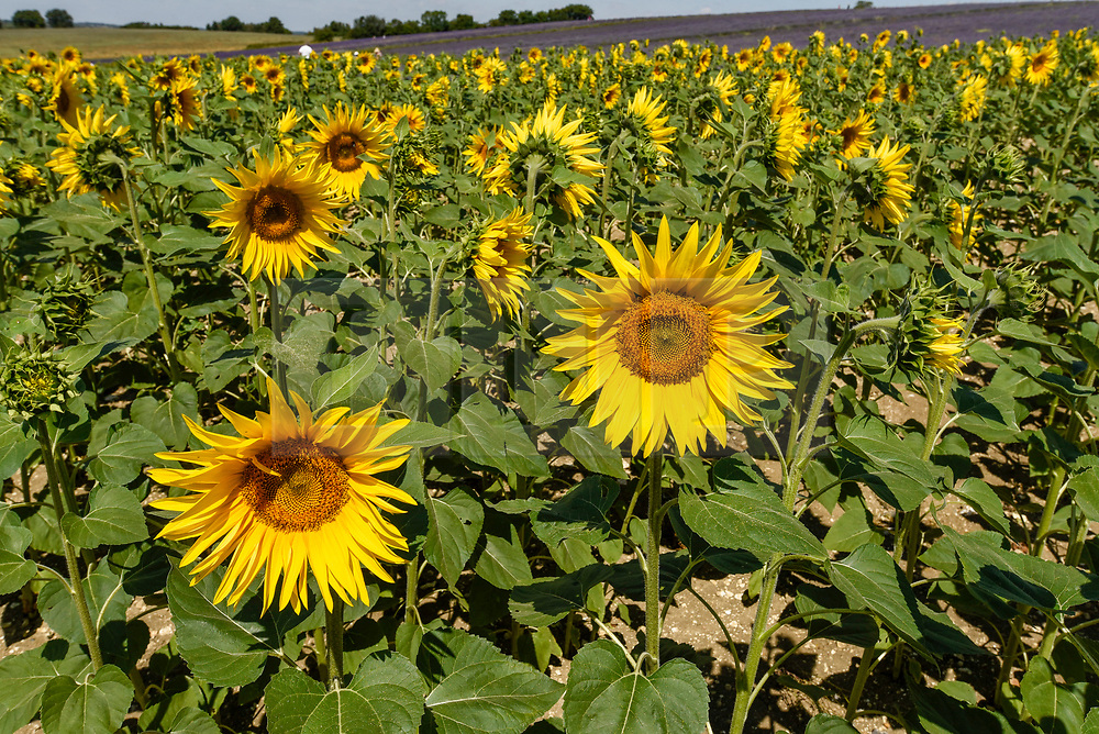 © Licensed to London News Pictures. 24/07/2018. ICKLEFORD, UK.  A field of sunflowers at Hitchin Lavender farm during the continuing heatwave.  Currently in full bloom, the lavender and colourful sunflowers attract visitors from far and wide to this popular family run farm. Photo credit: Stephen Chung/LNP