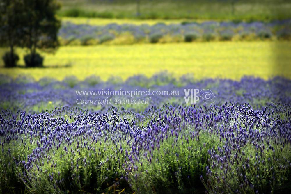Field of English lavender, Toodyay, Avon Valley, Western Australia