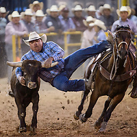 Steer wrestler Kevin Thompson makes a 6.0 second run during the first round of the Navajo Nation Fair rodeo in Window Rock Thursday.