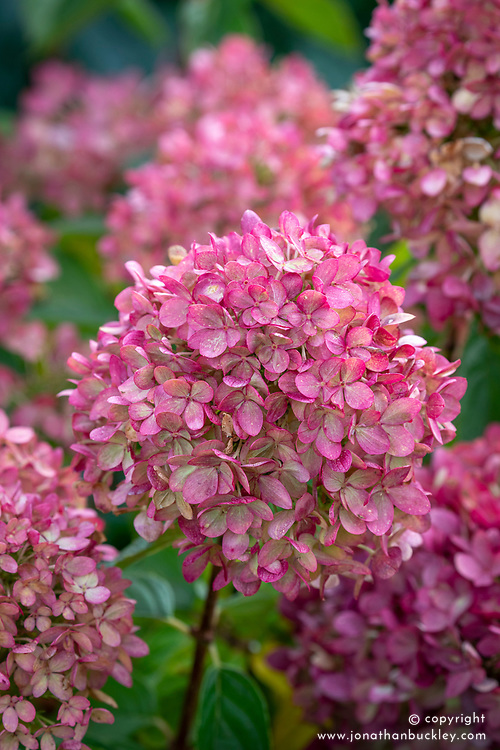 Hydrangea paniculata 'Little Lime' syn. 'Jane' - showing older flower colour in October