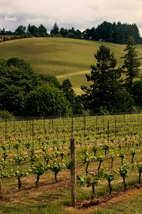 Sass Vineyards in the Willamette Valley, pinot noir vines