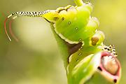 5th instar puss moth caterpillar (Cerura vinula) on aspen. Surrey, UK.