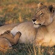 African Lion, (Panthera leo) Female nursing cub. Masai Mara Game Reserve Kenya. Africa.