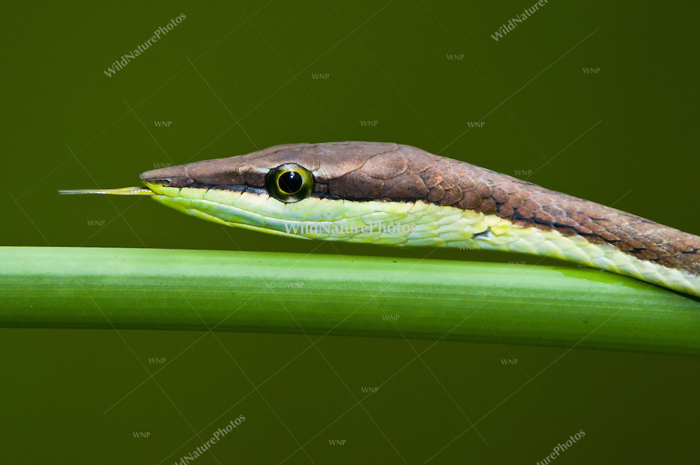 Brown Vine Snake (Oxybelis aeneus) using its tongue to pick up the scent of anoles, lizards and frogs, Bocas del Toro, Colon Island, Panama