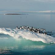 Brunnich's Guillemot on a floating iceberg, Svalbard, Norway