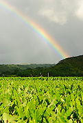 A colorful rainbow sweeps across the taro fields in Hanalei Valley on the island of Kauai.