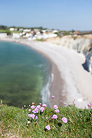 Pink thrift flowers on the cliffs, clear blue skies above, and calm seas below, Freshwater Bay, Isle of Wight.